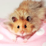What is a Syrian Hamster?